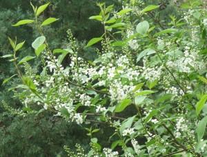Chokeberry Tree