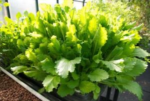 Turnip Green Plant