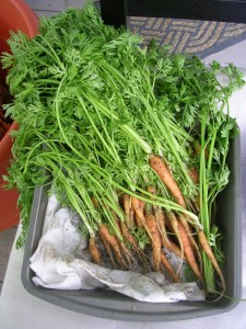 Carrot Greens Pictures