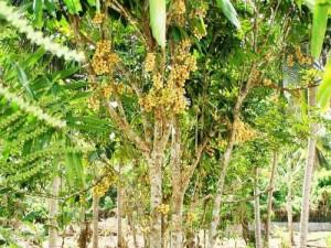 Lanzones Plant