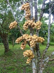 Lanzones Tree
