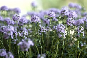 Summer Savory Flower